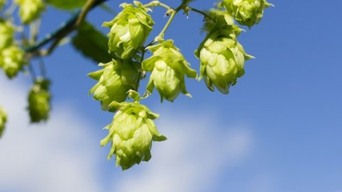 Beer Hops Could Hold Key to Preventing Common Liver Disease