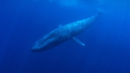 Bomb Detectors Record Rare Pygmy Blue Whales Singing