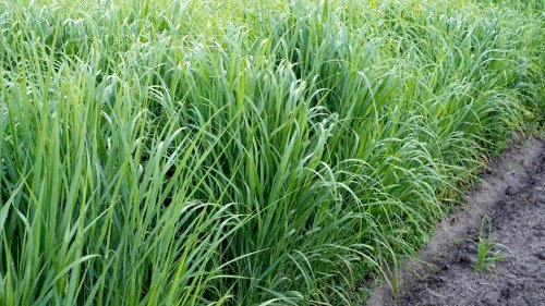 This Genetically Modified Grass Can Clean Up Toxic Pollution