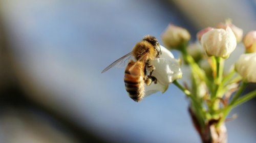 Antidote Saved 100% of Bees from Lethal Pesticide