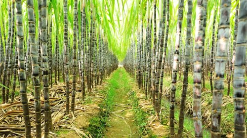 Researchers edit the sugarcane plant's genome for the first time