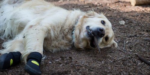 Do dogs need boots for hiking? [How to keep your pooches paws protected]