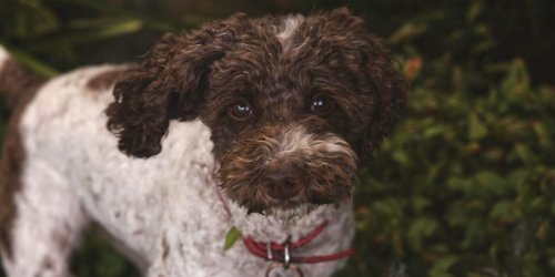 7 best hiking dogs that don't shed: hypoallergenic dog breeds
