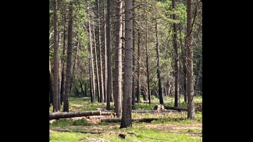 Can you spot the bear cubs in this photo? A California hiker nearly missed them