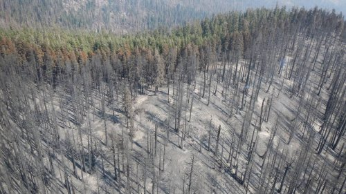 Fire killed thousands of mature giant sequoias, Sierra research shows. What's happening now?