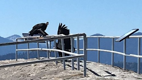 Condors' comeback now includes first return to this California national park in 50 years