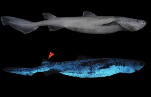This Shark'll Sparkle! Deep-Sea Predator Bioluminescence Discovered   Frommer's