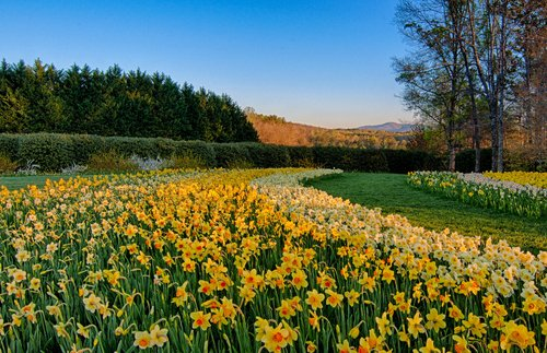 PHOTOS: The USA's Largest Daffodil Display in Bloom   Frommer's
