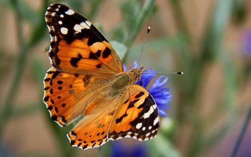 Ce papillon réalise la plus longue migration connue pour un insecte