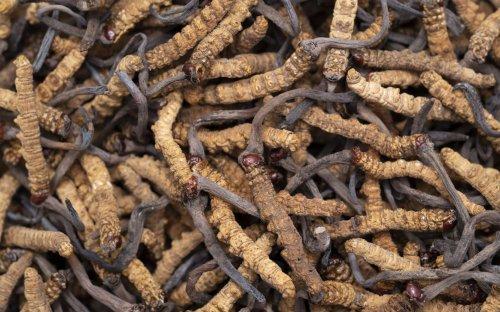 Les propriétés anticancéreuses d'un champignon tibétain décuplées par un nouveau procédé