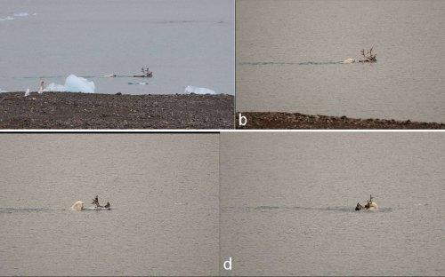 Première preuve vidéo d'un ours polaire chassant un renne