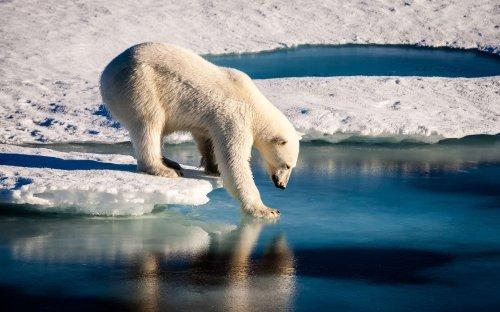 Ce n'est pas un mythe : les ours polaires chassent avec des blocs de glace !