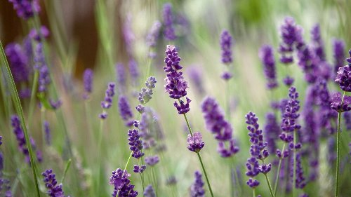 How to take lavender cuttings and multiply your plants for free
