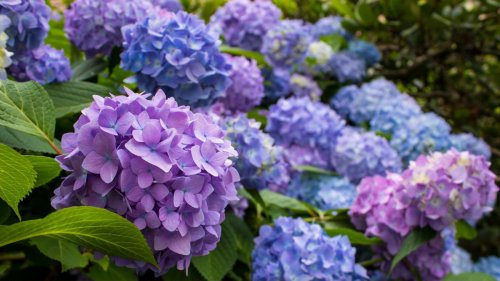 Growing hydrangeas in pots couldn't be easier – with these expert tips