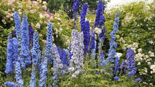 How to grow delphiniums: add these showstoppers to your plot