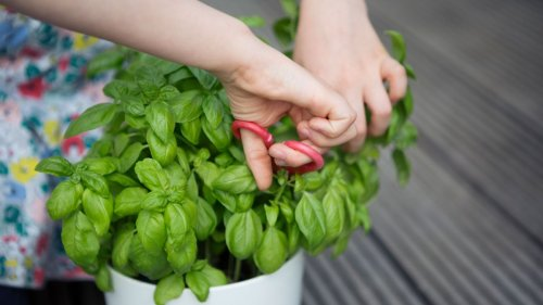 How to prune basil – and the best time to do it