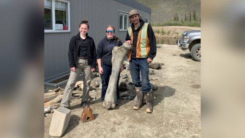 Gold miners discover giant skeletons of 3 woolly mammoths