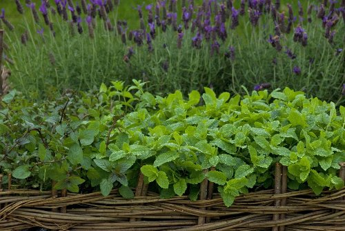 How to grow mint in pots and borders