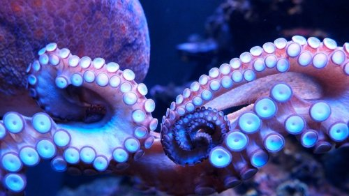 Octopuses can 'see' light with their arms