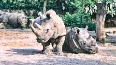 Discover white rhino