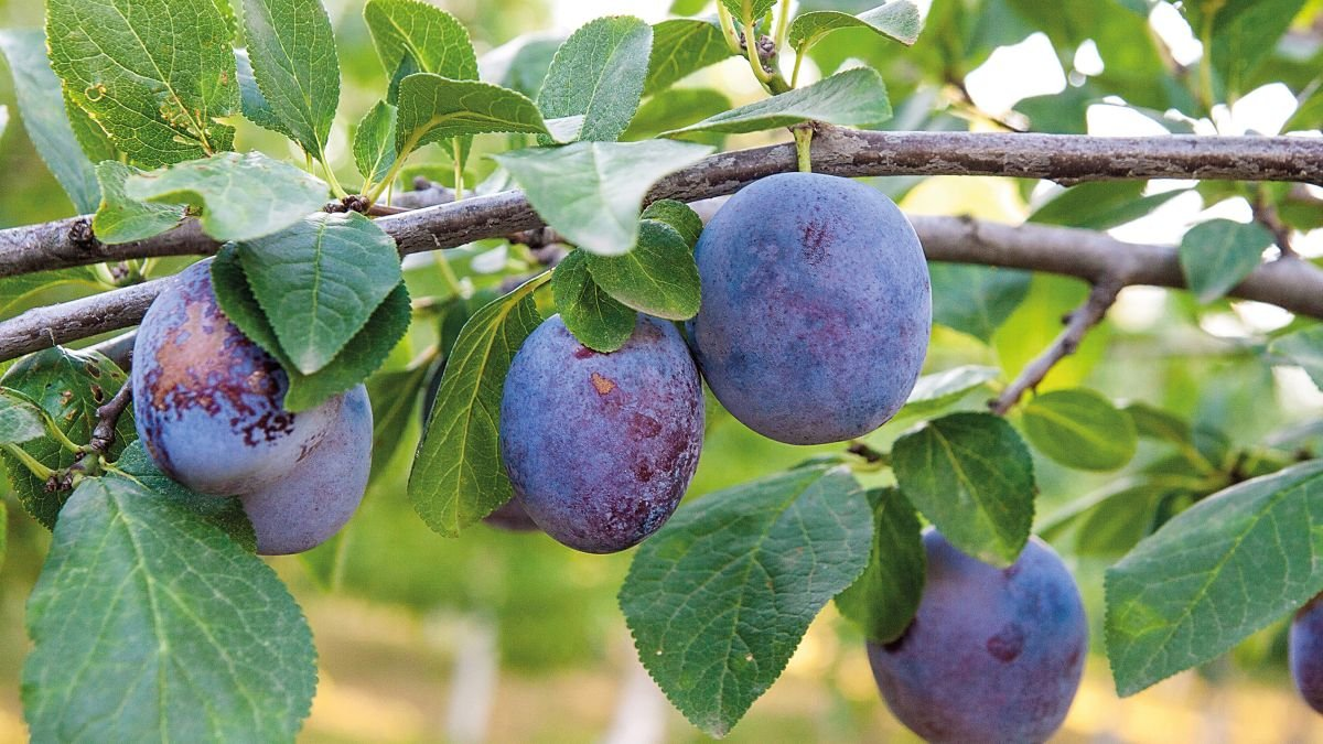 5 fabulous fruit trees to plant in your garden