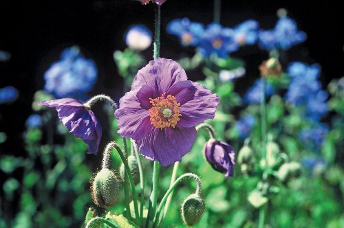 5 flower seeds to sow in May: plant these in your garden this month