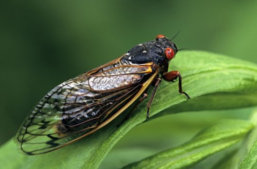 What are Brood X cicadas?