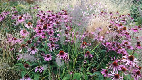 How to grow echinacea: top tips on planting and caring for coneflowers