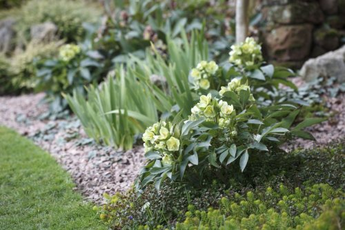 How to grow hellebores – an expert guide