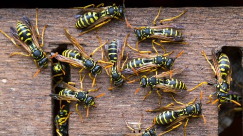 How to get rid of wasps: top tips to deter these pests from your home and yard