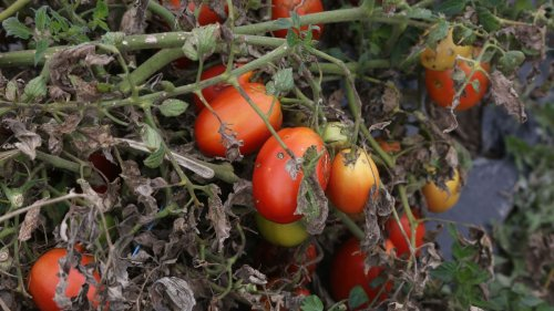 Tomato blight – treatments the gardening experts swear by