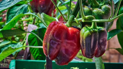 Best companion plants for peppers: herbs, flowers and veg to grow alongside peppers