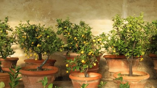 How to grow lemon from seed