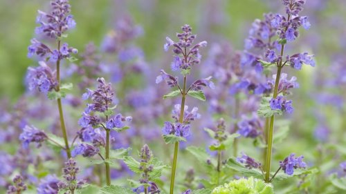 Best mosquito repellent plants: use these as a natural mosquito repellent