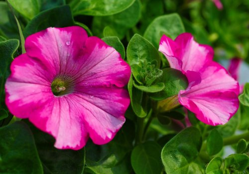How to grow petunias: add easy summer color to your garden