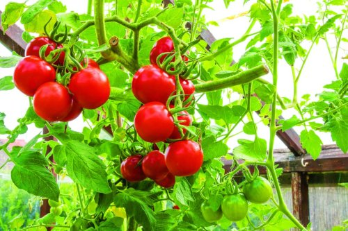 Monty Don shares his the secret to your protecting tomatoes from 'risks of blight' in late July