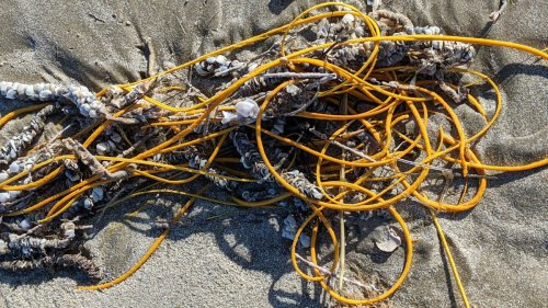 'Pile of rope' on a Texas beach is a weird, real-life sea creature