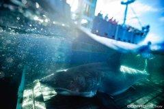 Discover white shark