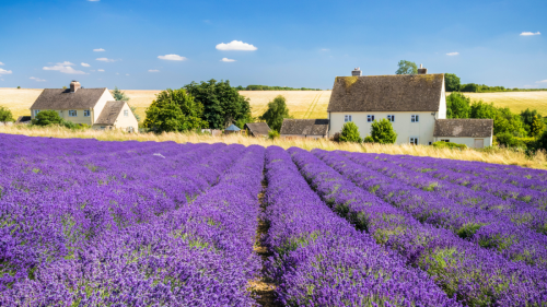 Why lavender is the one plant you need to add to your garden this summer