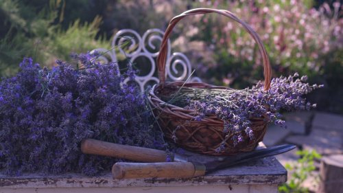 Three simple steps to prune lavender