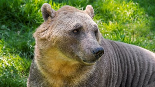 'Pizzly' bear hybrids are spreading across the Arctic thanks to climate change