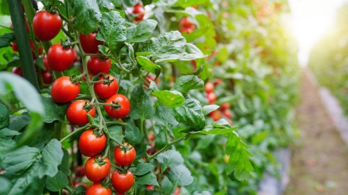 Martha Stewart's tomato growing tips will transform your tomato-growing game
