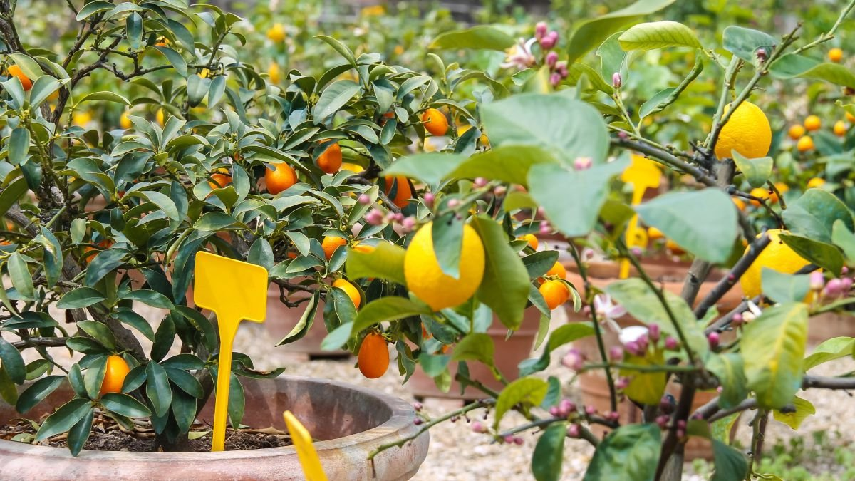 The best fruit trees to grow in patio containers