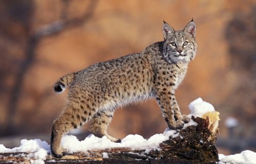 What to do if you see a bobcat while hiking