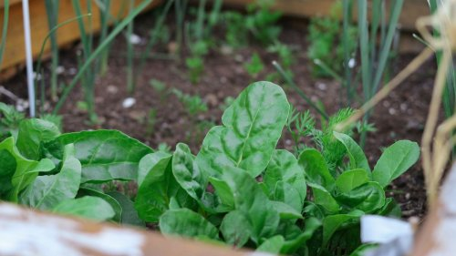 How to grow spinach in pots, indoors or in raised beds