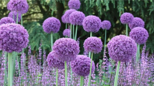How to plant allium bulbs: add eye-catching structure to your borders