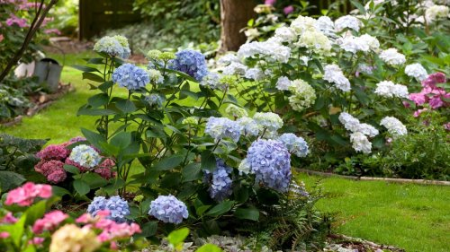 How to prune hydrangeas – including when to deadhead and cut back
