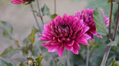How to grow chrysanthemums: expert tips on growing these garden classics