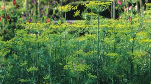 How to grow dill: expert tips for cultivating this tasty ornamental herb