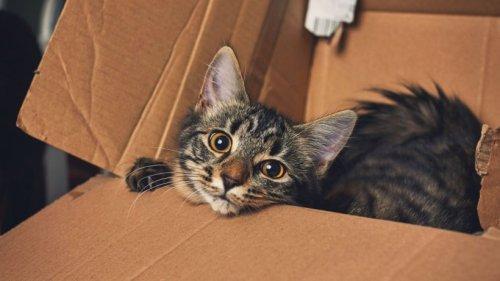 Katzen und Kartons: Forscher beobachten überraschendes Phänomen